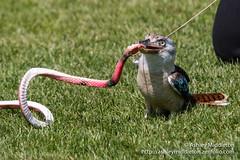 Birds of the World Show (Ashley Middleton Photography) Tags: england bird animal zoo europe unitedkingdom bedfordshire bluewingedkookaburra kookaburra dunstable zslwhipsnadezoo