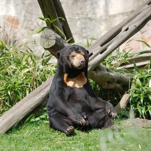 sunning sun bear