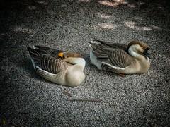 Beautiful life (valeriaconti136) Tags: parco nature geese sleep natura goose animale oca oche allaperto parcodimonza