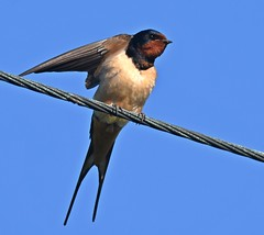 Swallow (Carl Bovis Nature Photography) Tags: uk england bird nature somerset swallow levels springwatch somersetlevels carlbovisnaturephotography