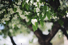 If the words you spoke appeared on your skin, would you still be beautiful? (Sandra H-K) Tags: brown white tree green nature outside outdoors spring soft dof branches blossoms depthoffield softfocus dreamy serene springtime