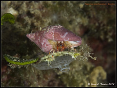 Brujita (JuanAnd-erwater) Tags: animal aquatico crustaceos