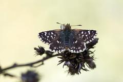 Rote Wrfel-Dickkopffalter (Spialia sertorius)_Q22A3172-BF (Bluesfreak) Tags: insekten schmetterlinge tagfalter spialiasertorius rotewrfeldickkopffalter