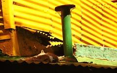 Cat rest (LEJZA) Tags: verde green sol argentina yellow cat buenosaires colours shine sunny colores amarillo gato rest dormir tejado techo sunnyday caminito dormido latas suramrica colorporn