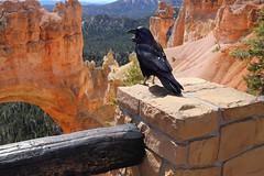 Toll Bridge Collector (csnyder103) Tags: morning bird utah arch naturalbridge bryce raven hoodoos brycecanyonnationalpark