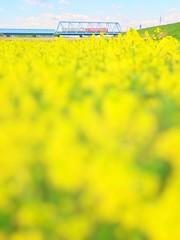 (akashirokiiro) Tags: flower yellow japan spring railway aomori hachinohe        xperia