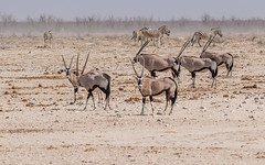 CAC_2441-20150925 (C&P_Pics) Tags: na bovidae namibia ostriches oryx springbok gemsbok burchellszebra etoshanationalpark bluewildebeast hartmansmountainzebra omusati okaukuejocamptodolemitecampandhobarterelodge