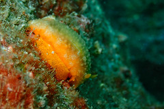 Laying egg (Gomen S) Tags: ocean china sea hk macro nature animal hongkong spring asia afternoon underwater wildlife flash meg ring tropical nudibranch reef diffuser 2016 tg3 pt056