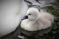 cuteness (yorkiemimi) Tags: bird animal germany swan wildlife schwan tier vogel mecklenburg müritz waren