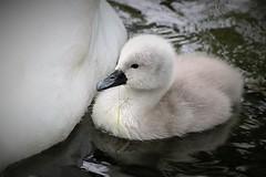 cuteness (yorkiemimi (back home for a little while)) Tags: bird animal germany swan wildlife schwan tier vogel mecklenburg mritz waren