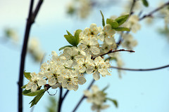 Plumtree blossoming (Ollafoto) Tags: flowers sky flower tree nature beautiful garden spring blossom may plum plumtree beaut