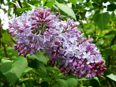 101_1345 (Cassiope2010) Tags: nature lilas cvennes