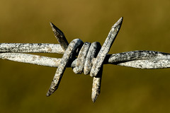 20160525_9422_7D2-100 Barbs (146/366) (johnstewartnz) Tags: macro canon eos wire 100mm barbedwire anythinggoes devilsrope 7d2 onephotoaday macromonday project366 100mmf28lmacro 7dmarkii canonapsc