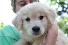 New kid on the block (sturner404) Tags: summer dog june goldenretriever puppy nicole puppies play playdate 2016