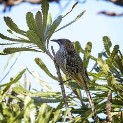 the nectar hunters - a little wattlebird (Fat Burns  (on/off)) Tags: littlewattlebird anthochaerachrysoptera honeyeater wattlebird bird australianbird fauna australianfauna nikond610 sigma150600mmf563dgoshsmsports