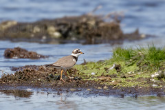 Surprise Visitor (shaftination) Tags: small common wader ringedplover charadriushiaticula paulfarnfieldcom