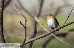 Hermit thrush (eric marceau) Tags: wild canada bird animal spring quebec hermit thrush wdillife
