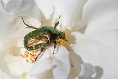 Lunch (bohnengarten) Tags: green rose bug insect eos schweiz switzerland swiss beetle insekt chafer kfer thurgau rosenkfer gemeine cetonia aurata 80d goldglnzender