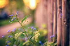 happy fence wednesday (StadtKind - capture the Bokeh) Tags: flowers sunset flores nature fleur closeup fence germany bavaria dawn petals europe dof bokeh sony forgetmenot pentacon a7 naturephotography kempten pentacon5018 lowpov stadtkind bokehlicious doflicious sonya7 sonyilce7