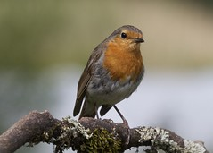 Robin (Ann@Plas Gwernoer) Tags: red brown robin