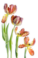 Parrot Tulips (Mandy Disher) Tags: flower floral bulb spring flora tulips parrottulip