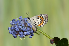 Chequered Blue  Scolitantides orion (Roger Wasley) Tags: macro butterfly europe european butterflies chequeredblue scolitantidesorion