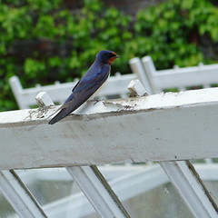 Heligan Swallow (Mike.Dales) Tags: birds cornwall swallow heligan thelostgardenofheligan