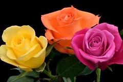 Trio of colours (padge83) Tags: pink flowers roses orange macro green yellow three petals nikon trio westyorkshire d5300
