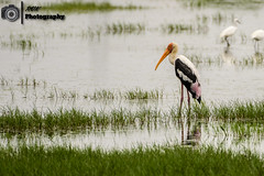 _DSC0400 (rvk82) Tags: india birds photography nikon wildlife chennai tamilnadu marshland southindia birdsanctuary in 2016 rvk nikond500 rvkphotography june2016 nikkor200500mm sholinganallurmarshland
