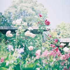 . (k) Tags: flower film hasselblad500cm fijipro400h