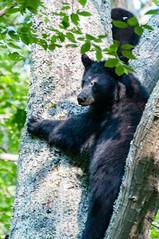 _DSC3651-2 (KewliePhotos) Tags: bear virginia nationalpark wildlife bears shenandoah shenandoahvalley blackbear blackbears shenandoahnationalpark