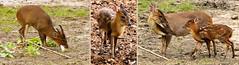 Muntjac de Reeve (Raymonde Contensous) Tags: ménageriedujardindesplantes zoos animaux paris muntjacdereeve cervidés fabuleuse