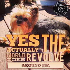 Thats what makes Yorkies so special, they know it, and demand... (itsayorkielife) Tags: yorkiememe yorkie yorkshireterrier quote