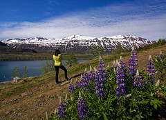Tvsngu Hike (amee@work) Tags: woman mountain june yellow iceland purple hike east day5 seydisfjordur 2016 canon40d tvsngu