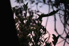 Before Dusk (elefterd) Tags: light nature leaves dusk 100mm hanimex fujifilmxt10