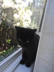 20160430-Angus 32 - a favorite spot (Snow Dragonwyck) Tags: black window cat fur kitten angus small watch kitty sootsprite