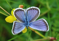 so blue (Hugo von Schreck) Tags: macro butterfly insect outdoor falter makro insekt schmetterling bluling polyommatussemiargus rotkleebluling onlythebestofnature tamron28300mmf3563divcpzda010 canoneos5dsr hugovonschreck
