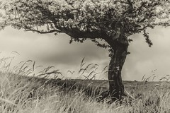 Standing Proud (Missy Jussy) Tags: sky bw tree monochrome grass landscape mono blackwhite war hills land tribute remembrance firstworldwar britex greatbritian standingproud battleofthesomme
