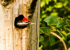 Young pileated - Ready to leave the nest! (explored  7-3-16) (dbking2162) Tags: trees red bird nature birds woodpecker wildlife indiana muncie pileated