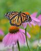 AFC_4003_8x10 (thorntm) Tags: flower butterfly monarch coneflower monarchbutterfly flickrestrellas nikond800 mdtpix esenciadelanaturaleza magicmomentsinyourlife t16070601