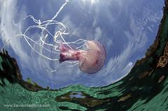 Pelagia noctiluca (Xavier Mas Ferr) Tags: ocean blue beach jellyfish underwater ibiza eivissa medusa mifa mediterraneansea snell balears honorablemention pelagianoctiluca