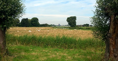 Cycling between Rotterdam & Delft (onno de wit) Tags: rotterdam delft berkel berkelenrodenrijs boezem sheep schapen windmolens windmill green meadows weilanden zomer summer ewi tudelft polder polders dutchlowlands