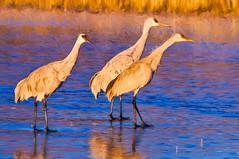 Cranes Craning (William Horton Photography) Tags: newmexico colorful digitalpainting wetlands nationalparks socorro bosquedelapache sandhillcranes