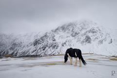 Horse in a landscape (vandrende) Tags: horse norway landscape cheval norge vinter hiver nor paysage lofoten hest norvege landskap nordland flakstad ramberg vareid