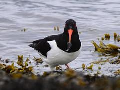 Tjeld-#3 (knutmsa) Tags: birds sport norway seaside nikon sigma haematopus ostralegus 150600mm d800e sigma150600mmf563dgoshsmsport