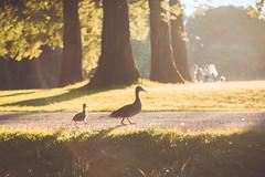 walky-walky (spiridono) Tags: ducks duck duckling walking nature park sunset
