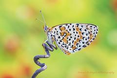 Melitaea Didyma... (Samuele81) Tags: macro butterfly 90mm farfalla didyma macrofotografia allaperto melitaea