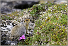 arctic ground squirrel (Christian Hunold) Tags: mammal rodent squirrel groundsquirrel arcticgroundsquirrel arktischerziesel