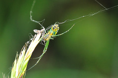 spider (SouthWestDreams ) Tags: spider gitzo orchardorbweaver leucaugevenusta tamron90macro
