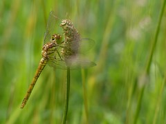 Common Darter (ukstormchaser (A.k.a The Bug Whisperer)) Tags: uk grass animal animals june insect afternoon dragonflies dragonfly wildlife insects common darter basking darters